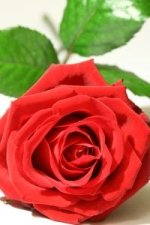 white magic love spells with rose petals
